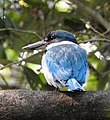 Collared Kingfisher Todiramphus chloris by Dr. Raju Kasambe DSCN0915 (44).jpg