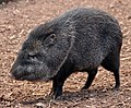 Collared Peccary in Paignton Zoo (cropped).jpg