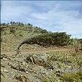 Collectie Nationaal Museum van Wereldculturen TM-20029574 Landschap met dividiviboom en cactussen Aruba Boy Lawson (Fotograaf).jpg