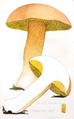 Coloured Figures of English Fungi or Mushrooms - t. 111.png