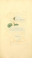 Coloured Figures of English Fungi or Mushrooms - t. 226.png