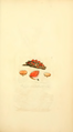Coloured Figures of English Fungi or Mushrooms - t. 24.png