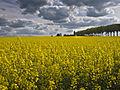 Colza route de Jouars (Yvelines)-1-cliche Jean Weber (23307110889).jpg