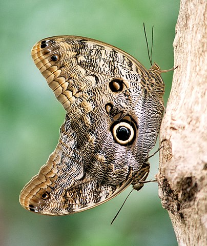 Artis  on File Common Buckeye Butterfly In Artis Zoo Crop Jpg   Wikipedia  The