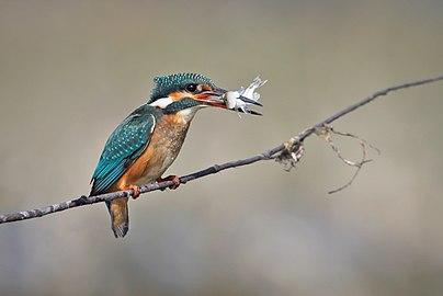 Common Kingfisher-Alcedo atthis.jpg