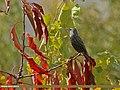 Common Starling (Sturnus vulgaris) (25979753261).jpg