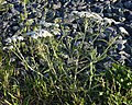 Common Yarrow (Achillea millefolium) - Terra Nova National Park, Newfoundland 2019-08-21.jpg