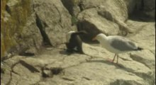File:Common guillemot egg theft.ogv