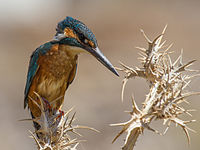 Common kingfisher on thorns.jpg