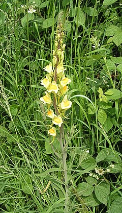 Common toadflax 600.jpg