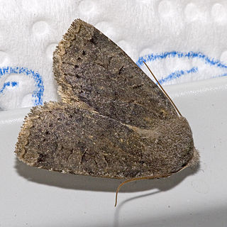 <i>Conistra ligula</i> species of insect