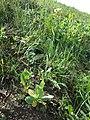 Conringia orientalis sl22.jpg