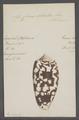 Conus striatus - - Print - Iconographia Zoologica - Special Collections University of Amsterdam - UBAINV0274 085 10 0060.tif