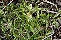 Coomon Cornsalad (Valerianella locusta) - geograph.org.uk - 1396064.jpg