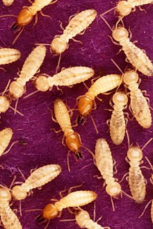 Formosan subterranean termite soldiers (red colored heads) and workers (pale colored heads).