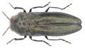 Coraebus elatus (Fabricius, 1787).png
