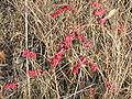 Coral berries in prairie.JPG