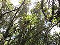 Cordyline australis (6709016789).jpg