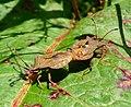 Coreus marginatus mating... on Dock leaf - Flickr - gailhampshire (1).jpg