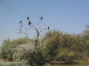 Djoudj National Bird Sanctuary - Image: Cormorans Djoudj