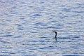 Cormorant (44200685071).jpg