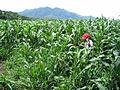 Corn field in San Bartolo.jpg