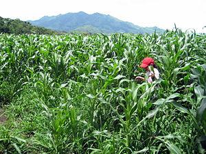 Quilalí - Image: Corn field in San Bartolo