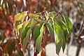 Cornus florida Plena 1zz.jpg