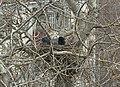 Corvus cornix.nest.jpg