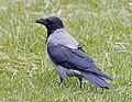 Corvus corone Oulu Finland 2020-09-20.jpg