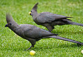 Corythaixoides concolor -on lawn -South Africa-6.jpg