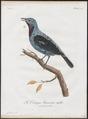 Cotinga cayana - 1801 - Print - Iconographia Zoologica - Special Collections University of Amsterdam - UBA01 IZ16600077.tif
