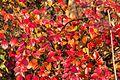 Cotoneaster-divaricatus-autumn.jpg