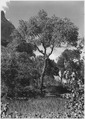 Cottonwood Tree (Populus fremontii), a common tree of Zion Canyon floor. - NARA - 520490.tif