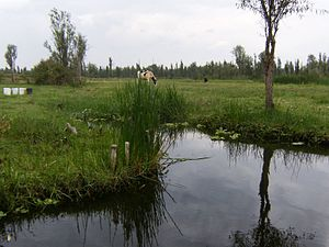 Xochimilco - Cows grazing along a canal