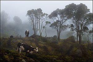 Choachí - Image: Cows in the Fog (7722843860)