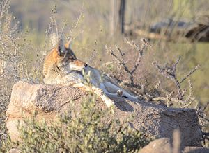 Arizona-Sonora Desert Museum - A Coyote sleeping on a rock at the Sonora Desert Museum in Tucson, Arizona