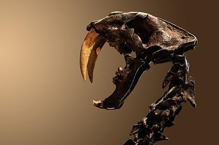 Crâne de smilodon exposé au Museu de Zoologia da Universidade de São Paulo