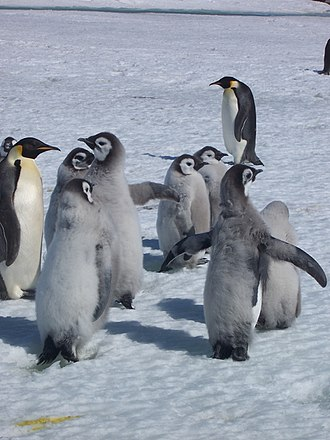 Taylor Rookery - Emperor penguins with chicks