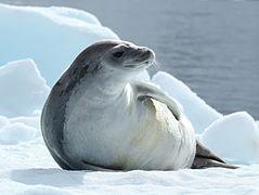 Au temps des chasseurs de phoques dans PHOQUE et OTARIE 239px-Crabeater_Seal_in_Pl%C3%A9neau_Bay%2C_Antarctica_%286058619759%29