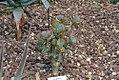 Crassula arborescens 0zz.jpg
