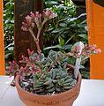 Crassula coralita 1e.jpg
