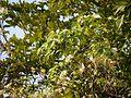 Crataeva adansonii ssp. odora (5243459942).jpg
