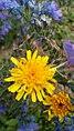 Crepis foetida inflorescence (31).jpg