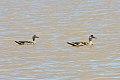 Crested Duck (Lophonetta specularioides) (8077593244).jpg
