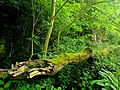 Creswell Gorge, Creswell Craggs, Notts (75).jpg