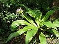 Crinum asiaticum 文殊蘭 (天問).jpg