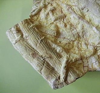 Cruziana - Cruziana, fossil trackways of trilobites.