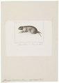 Ctenomys brasiliensis - 1700-1880 - Print - Iconographia Zoologica - Special Collections University of Amsterdam - UBA01 IZ20600147.tif