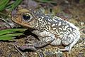 Cuban Spotted Toad (Peltophryne taladai) (8575064704).jpg